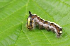 Caterpillar insect  euproctis similis Royalty Free Stock Photos
