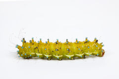 Caterpillar isolated on white background. Big yellow caterpillar isolated on a white background Royalty Free Stock Image