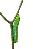 Caterpillar isolated on white background Royalty Free Stock Photo