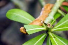 Caterpillar jaune sur la feuille verte Photographie stock libre de droits