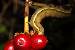 Caterpillar je czerwonej jagody Fotografia Royalty Free