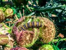 Caterpillar krypning på en taggig växt arkivbilder