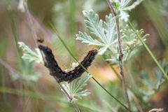 Caterpillar of lackey moth climbing a meadow grasses. Photo royalty free stock images