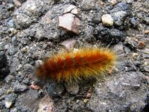 Caterpillar lanoso su calcestruzzo Immagine Stock