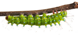 Caterpillar of the Large Emperor Moth Royalty Free Stock Photo