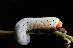 Caterpillar (larva) Royalty Free Stock Photography
