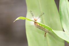 Caterpillar,larva of butterfly Stock Photo