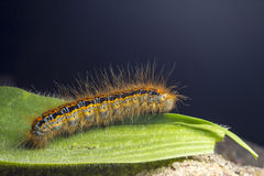The caterpillar larva Stock Photos