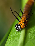 Caterpillar on a leaf Stock Photography