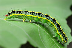 Caterpillar on leaf