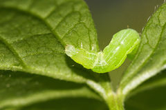 Caterpillar between leaf. Caterpillar eats the leaf between the leaf Royalty Free Stock Image