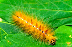 Caterpillar on the leaf Stock Image