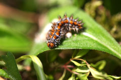 Caterpillar on a leaf Stock Photos