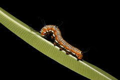 Caterpillar on Leaf 2 Stock Photo