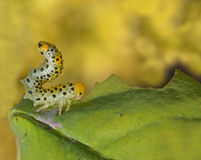Caterpillar on the leaf Stock Images