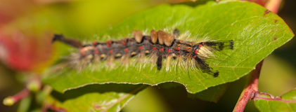 Caterpillar on leaf Royalty Free Stock Images