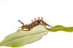 Caterpillar on leaf Royalty Free Stock Photography