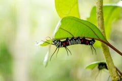 Caterpillar. On leaf Stock Photo