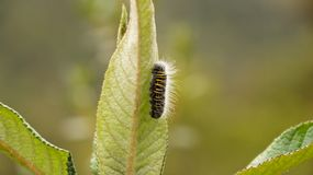 Caterpillar on a leaf. Caterpillar crawling on a leaf stock photo