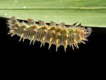 Caterpillar on leaf Stock Photos