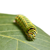 Caterpillar on leaf Royalty Free Stock Image