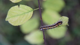 The caterpillar on a leaf stock footage