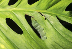 Caterpillar on a leaf Royalty Free Stock Photo