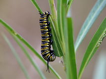 Monarch caterpillar on leaf eating Royalty Free Stock Images