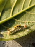 Hairy caterpillar on leaf. Munching yummy meal they need to metamorphosis cocoon phase. Macro photography. Caterpillar leaf munching yummy meal need stock photos