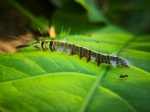 Hairy caterpillar on leaf. Munching yummy meal they need to metamorphosis cocoon phase. Macro photography. Caterpillar leaf munching yummy meal need royalty free stock photo