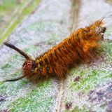 Hairy caterpillar on leaf. Munching yummy meal they need to metamorphosis cocoon phase. Macro photography. Caterpillar leaf munching yummy meal need stock photography