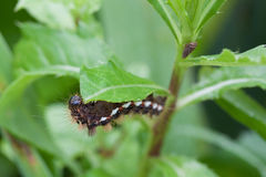 Caterpillar on leaf Stock Photos