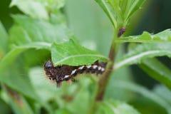 Caterpillar on leaf. After rain stock photos