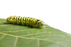 Caterpillar on leaf Royalty Free Stock Photo
