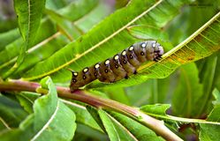 Caterpillar. On leaf willow-herb autumn creeps up in the mountains spotted Royalty Free Stock Photos
