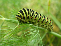 The caterpillar on the leaves of the dill Stock Photo