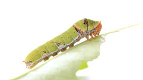 Caterpillar on a lemon leaf stock video