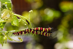 Caterpillar of Leopard lacewing (Cethosia cyane euanthes) Royalty Free Stock Images