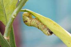 Caterpillar of the lime butterfly, papillio demoleus, at the begining of its 5th and final instar. Royalty Free Stock Photos