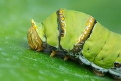 Caterpillar lindo de Borneo Fotografía de archivo