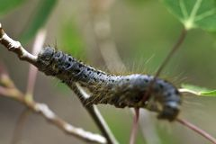 Caterpillar Lost creek Wilderness Royalty Free Stock Images