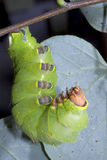 Caterpillar of the luna moth (Actias luna. ) on a branch stock image