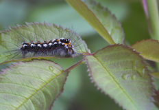 Caterpillar Lymantriidae. Royalty Free Stock Image