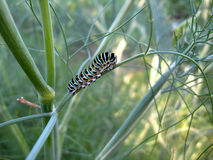 Caterpillar of the machaon on the branch of fennel Royalty Free Stock Photography