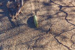 The caterpillar of the machaon Royalty Free Stock Image