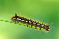 Caterpillar macro (Acronicta euphorbiae ) Stock Images