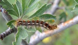 Caterpillar macro closeup on green leaf Royalty Free Stock Photography