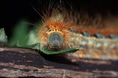 Caterpillar Malacosoma castrensis zmielony lokaj zamknięty w górę obrazy stock