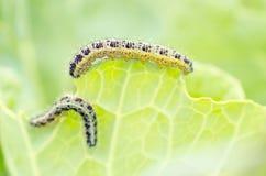 Caterpillar mangeant du chou poussent des feuilles Image stock