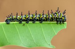 Caterpillar on a mango leaf royalty free stock photos